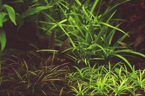Ketten-Schwertpflanze