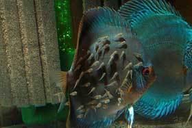 Diskus-Snake Skin Blue mit Jungtieren