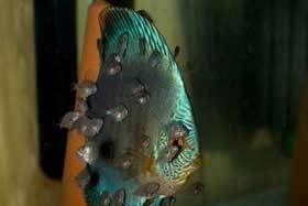 Die Jungfische sind nun schon 2 Wochen alt
